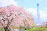 一緒に桜を見たかった - Pastel color