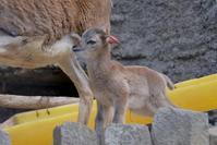 ムフロンの赤ちゃん - 動物園に嵌り中