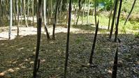 掲示効果?県所有の竹林のタケノコすくすく生長5・6 - 北鎌倉湧水ネットワーク
