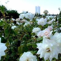 秋バラを見に - お花で仕事をしたい方のためのフラワーアレンジメント教室              Champs Fleuris Izmi (シャン フルーリー イズミ)