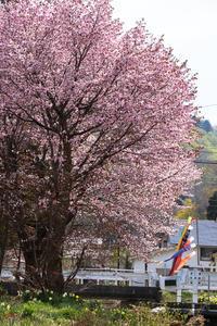 裏磐梯の桜 - In My Life