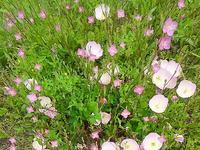 """ピンクの花""""ヒルザキツキミソウ""""と""""アカバナユウゲショウ""""の競演 - 健気に育つ植物たち"""