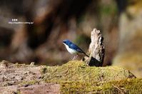 「チチチ・・チョチョチョ・・」コルリ - azure 自然散策 ~自然・季節・野鳥~