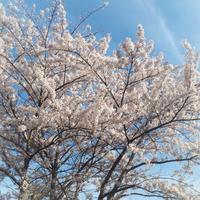 桜と梅 - アーティスティックな陶器デザイナーになろう