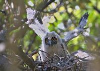トラフズクの雛 - 今日も鳥撮り