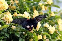 こんな所に珍蝶 - 比企丘陵の自然