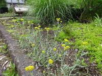 母子草 - だんご虫の花
