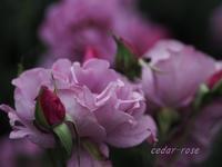 春のバラ園 - 瞳の記憶