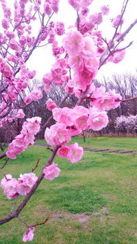 平岡公園の梅 - ゆのきのとミルクティー