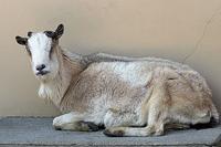 ありがとう トカラヤギ - 動物園放浪記