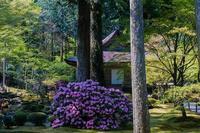三千院~石楠花&少し桜① - 鏡花水月
