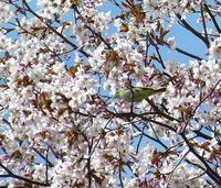 桜とニセウグイス。。。 - 村田ピアノ教室のブログ ~北海道旭川市より~