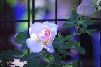 La Vie en rose 6 - IL EST TROP TARD     時は過ぎゆく ...