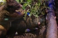フクロギツネの赤ちゃん - 動物園に嵌り中