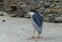 5月8日、5月の鳥撮り休暇も雨でスタート、4月から4回連続で雨、今月も・・・今日は雨が降る前に鳥撮りへ、2年ぶりにゴイサギと遊ぶ! - 鳥撮り日誌