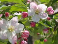 りんごの花が咲きました - ちいさな農家 ひろさと舎