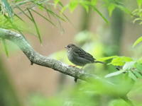 クロジとアオジ - コーヒー党の野鳥と自然 パート2