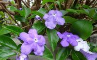 ニオイバンマツリの枝垂れ咲き - 花と葉っぱ