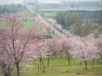 十勝の桜名所「桜六花公園」のサクラが満開になりました。 - 十勝・中札内村「森の中の日記」~café&宿カンタベリー~