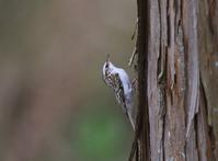 初めての出会い、、キバシリ、 - ぶらり探鳥