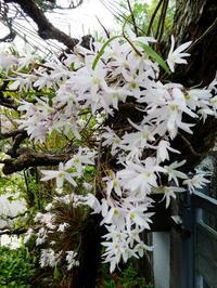 我が家の花 セッコク咲く - 風の便り