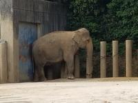 千葉市動物公園2018年4月アイちゃん - ゾウさん