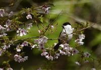 山桜に止まるコガラ - 可愛い野鳥たち 2
