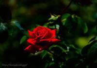 薔薇・・・ - ショーオヤジのひとり言