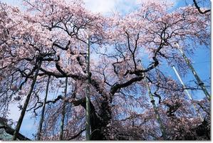 圧倒的桜。2018 - そよ風になって~