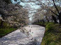 さくら日記@弘前公園2018.4.28 - Tea Wave  ~幸せの波動を感じて~