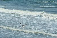 日本海とウミネコ - *花音の調べ*
