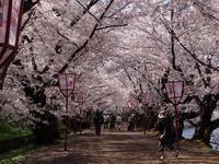 遅くなったけど(^^;桜のトンネル弘前公園西堀ほかいろいろ^^ - 窓の向こうに
