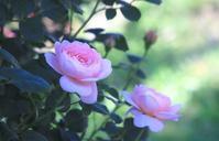 La Vie en rose 8 - IL EST TROP TARD     時は過ぎゆく ...