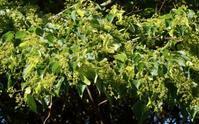 #木の花 『科の木』 Tilia japonica - 自然感察 *nature feeling*