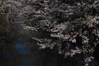 桜2018ご近所 - 写真部