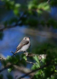 コサメビタキ  メジロの巣材集め - 鳥さんと遊ぼう