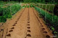落花生(オオマサリ)播種 5月 5日撮影 - bandana082の体験農園