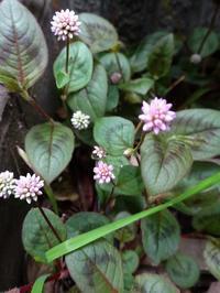 長雨に健気に咲く花 - 花と葉っぱ