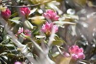 アズマシャクナゲ(ツツジ科) - 奥只見・銀山平で見られる山野草