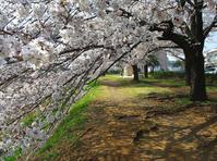 八王子よいとこ/浅川ゆったりロードの桜-3 - 八王子見て歩記