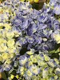 なんて美しい紫陽花 - piecing・針仕事と庭仕事の日々
