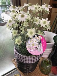 母の日にフランネルフラワーの鉢植えのプレゼントが - 青山ぱせり日記
