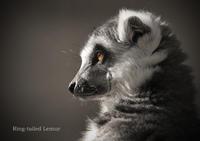 ワオキツネザル:Ring-tailed Lemur - 動物園の住人たち写真展(はなけもの写眞店)