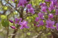 白と紫の競演!ミツバツツジとシロヤシオ~2018年5月 高原山ミツモチ - 殿様な山歩き