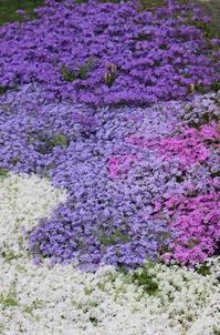 3色アイス風芝桜♪ - HOME SWEET HOME ペコリの庭 *