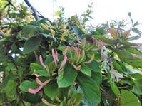 ハニーサックル - だんご虫の花