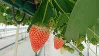 イチゴ狩り Strawberry picking - latina diary blog