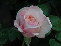 Keira beautiful - Gardener*s Diary