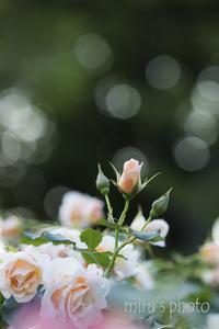 薔薇とネコ。 - MIRU'S PHOTO