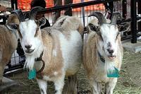 ふれあいの丘のトカラヤギたち - 動物園放浪記